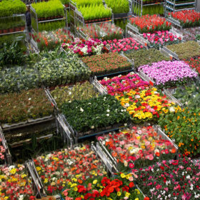 Flowers everywhere: A flower auction and orchid greenhouse tour